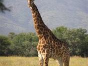 Fotos de Girafa 7