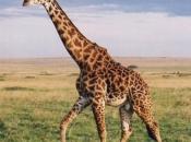 Fotos de Girafa 8