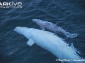 ARKive image GES005973 - Beluga whale