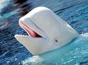 Baleia Beluga 3