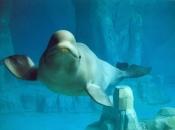 Baleia Beluga 4