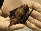 doencas-causadas-morcego-1