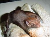 doencas-causadas-morcego-3
