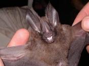 doencas-causadas-morcego-4