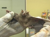 doencas-causadas-morcego-6