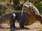 Dragão de Komodo1