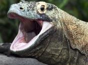 Dragão de Komodo2