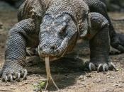 Dragão de Komodo6
