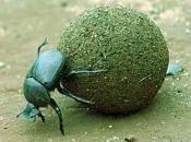 Escaravelho-sagrado1