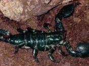 Escorpião-imperador3