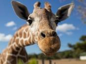 Espécie de Girafa 1