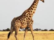 Espécie de Girafa 2
