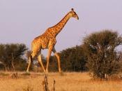 Espécie de Girafa 4