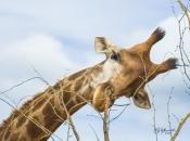 Espécie de Girafa 5