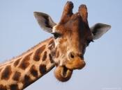 Espécie de Girafa 6