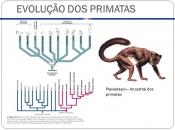 EVOLUÇÃO DOS PRIMATAS Plesiadapis – Ancestral dos primatas