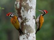 Família Picidae 3