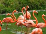 Flamingo-rubro1