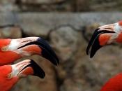 Flamingo-rubro3