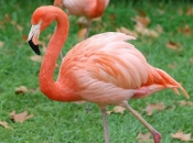 Flamingo-rubro6