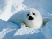 Foca-da-Groenlândia1