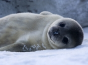 Foca-da-Groenlândia2
