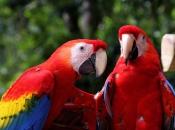 Fotos da Arara Vermelha 11