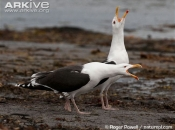 ARKive image GES140317 - Great black-backed gull