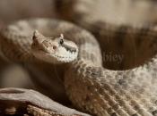 Fotos da Cascavel-chifruda do Deserto14