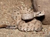 Fotos da Cascavel-chifruda do Deserto3