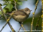 ARKive image GES120369 - Garden warbler