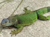 Fotos da Iguana 1