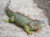 Fotos da Iguana 10