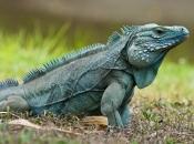 Fotos da Iguana 12