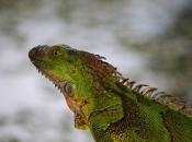 Fotos da Iguana 13