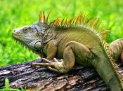 Fotos da Iguana 2
