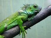 Fotos da Iguana 3