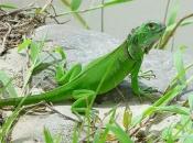 Fotos da Iguana 4
