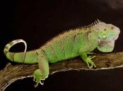 Fotos da Iguana 6