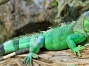Fotos da Iguana 8