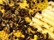As abelhas são responsáveis pela polinização de 71% das espécies vegetais que suprem 90% da oferta de alimentos do mundo. Foto: [url=https://www.flickr.com/photos/blumenbiene/4592509570/]Maja Dumat/Flickr[/url]