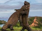 Fotos de Dragão de Komodo 10