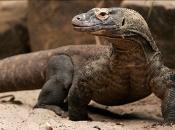 Fotos de Dragão de Komodo 11