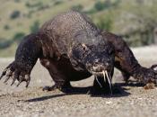 Fotos de Dragão de Komodo 15