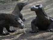 Fotos de Dragão de Komodo 16