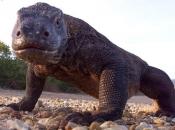 Fotos de Dragão de Komodo 3