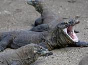 Fotos de Dragão de Komodo 5