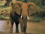 Fotos de Elefantes Africanos10