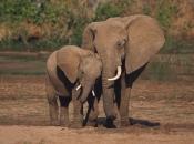 Fotos de Elefantes Africanos12