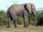 Fotos de Elefantes Africanos13